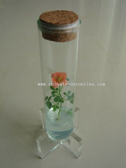 Finger Rose (Mini Plant, Pet Tree, Pet Plant)